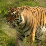 Tiger Taiga at Colchester Zoo