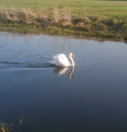 A swan on the Blackwater