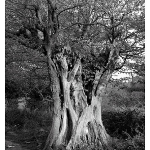Old Hornbeam in Hatfield Forest