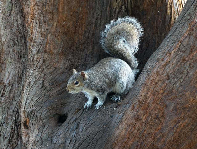 Grey squirrel in Castle Park Colchester - by Neil Theasby