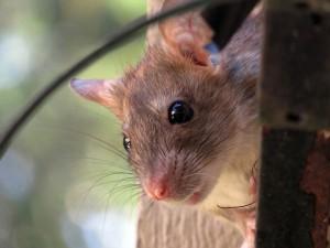 Rat peering around the corner